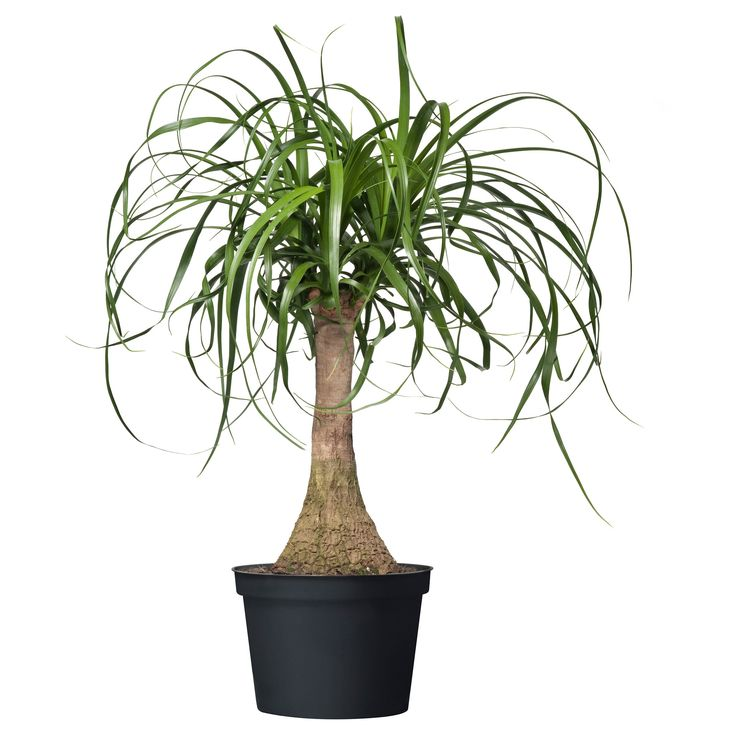 28 best images about ponytail palms on pinterest bottle for Ikea plantes