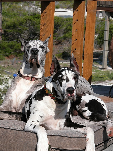 My life, present and future! Now we have a Blue Merle, next is a Harlequin.