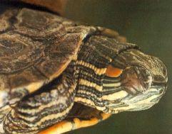 Happy Turtle Site - Online Pet Turtle Information Site