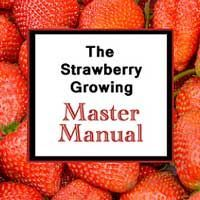 4 Secrets to Growing Loads of Organic Strawberries | Strawberry Plants .orgStrawberry Plants .org