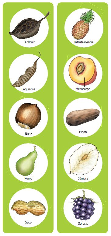 frutos y semillas 2