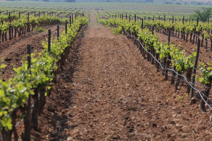 viñedos/vineyards, julio/july 2012