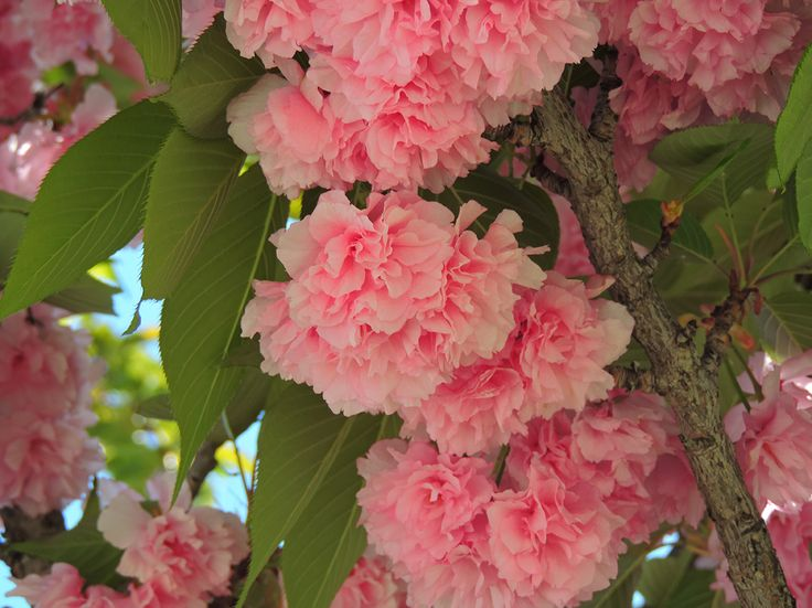Cerezo japonés  (Prunus serrulata 'Kanzan'). http://www.elhogarnatural.com/Arboles.htm
