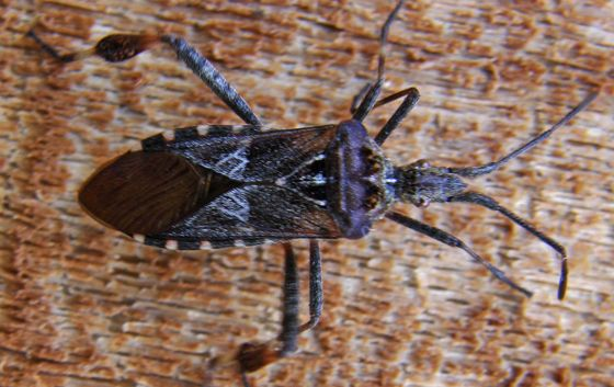 Western Conifer Seed Bug - Leptoglossus occidentalis=  THIS ONE IS MY FAV SO FAR . IF YOU FOLLOW THE LINK, THEN FOLLOW THE LINKS AT THE TOP OF THE PAGE THERE ARE A WHOLE BUNCH FROM WHICH TO CHOOSE AND COMPARE.