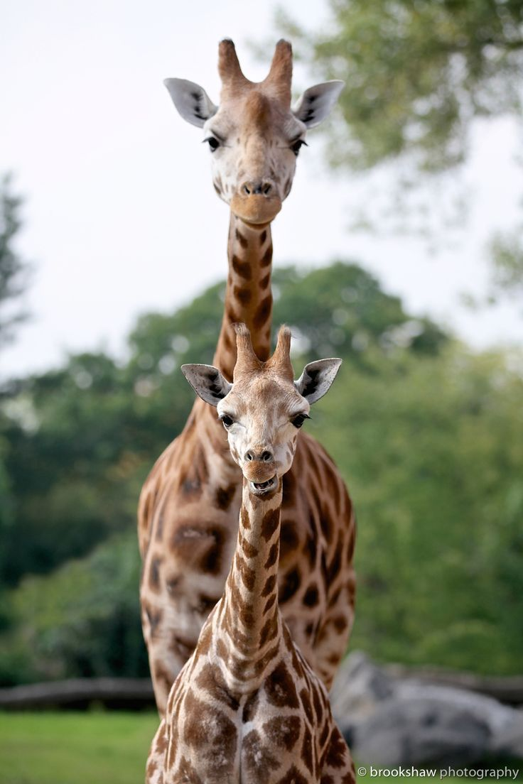 brookshawphotography: Nine-month-old baby Rothschild's giraffe Zahra at Chester Zoo