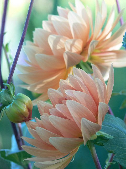 Dahlias, I am really starting to love dahlias. The seem to come in an infinite number of varieties and are, apparently, very easy to grow.