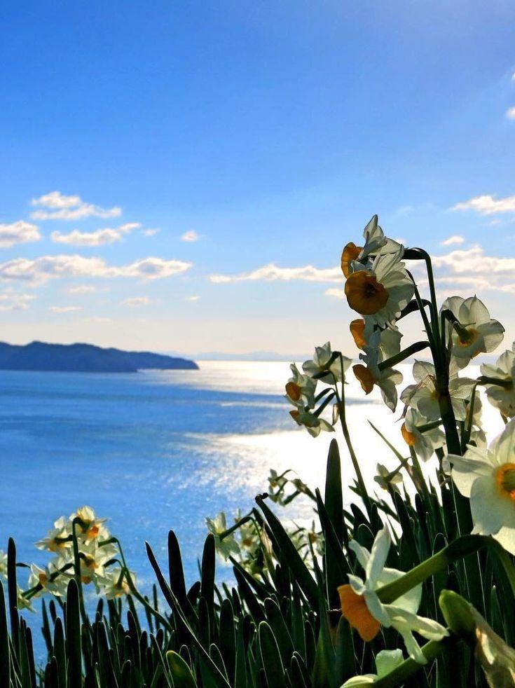 Nada Kuroiwa Narcissus Field, Minamiawaji, Hyogo, Japan, 灘黒岩水仙郷, 兵庫県南あわじ市