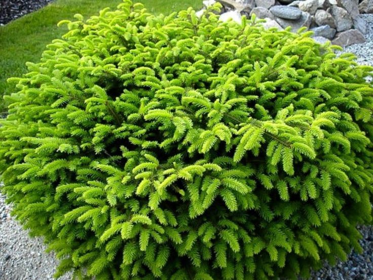 Common name : birds nest spruce Spread