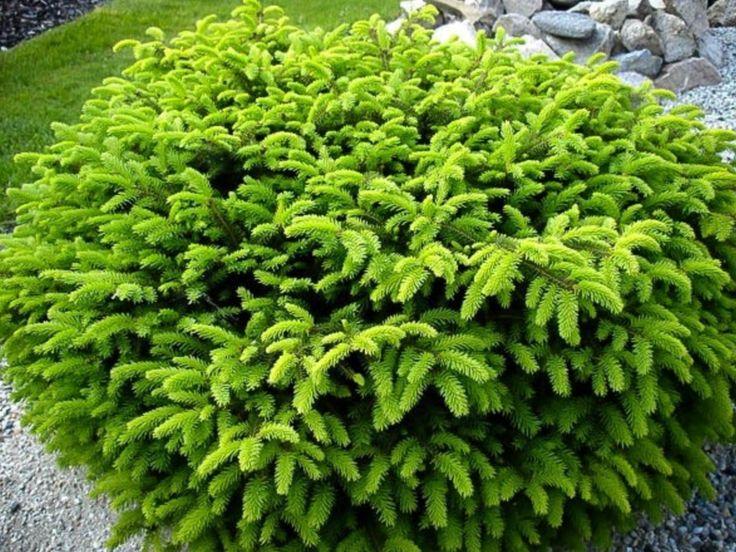 Common name : birds nest spruce Spread