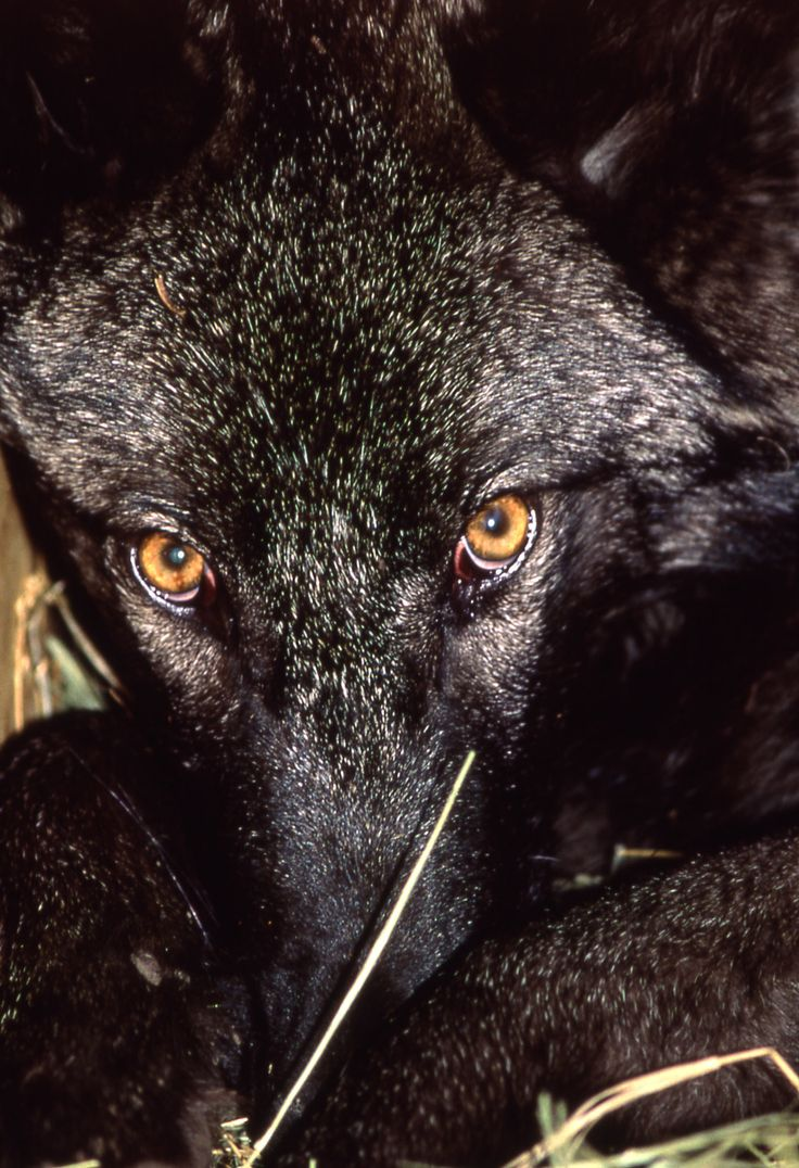 5000 best wolf coyote world images on pinterest animals wild