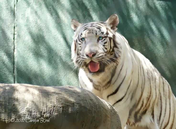 One of the white tigers at The Secret Garden, The Mirage Hotel, Las Vegas, NV