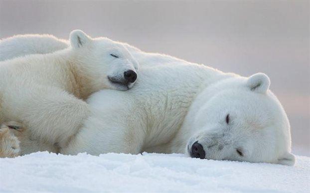 Οι πολικές αρκούδες εκπέμπουν SOS