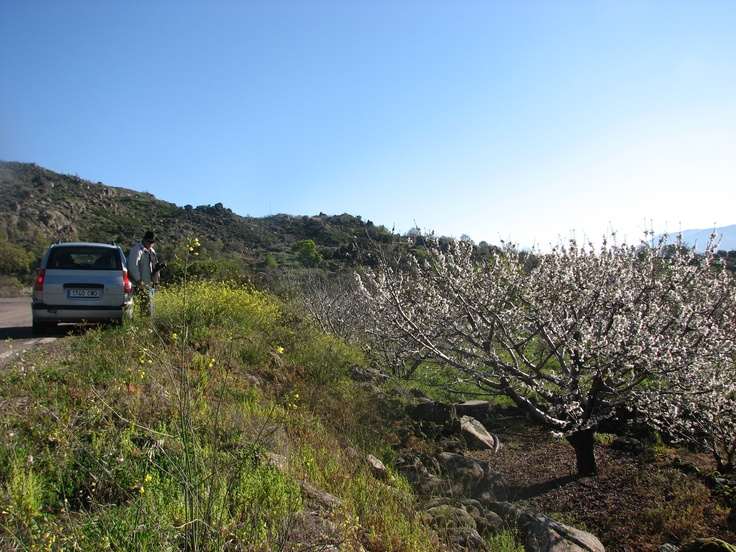 La Floración del Cerezo este año 2013 vino tarde pero vino al fin y al cabo. Estos cerezos se sitúan bajo la población de El Tono.