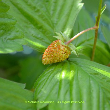 "GRATITUDE JOURNAL 2016-07-11: ""I am grateful for the tasty #WildStrawberries that are ripening on our balcony, right now."" - Stefanie Neumann 