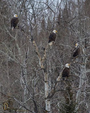 Eagles at Two Harbor