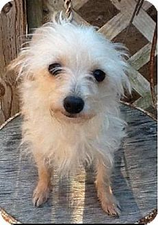 Berkeley Heights, NJ - Poodle (Miniature)/Chihuahua Mix. Meet Baillie, a dog for adoption. http://www.adoptapet.com/pet/12062244-berkeley-heights-new-jersey-poodle-miniature-mix