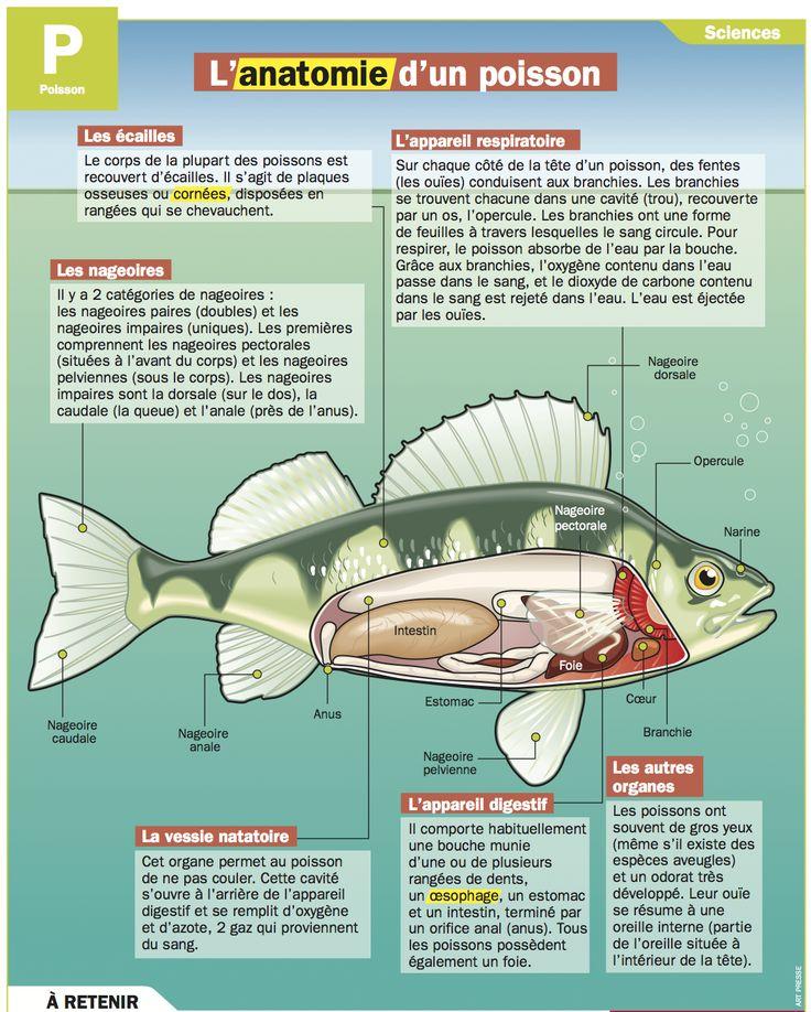 L'anatomie d'un poisson