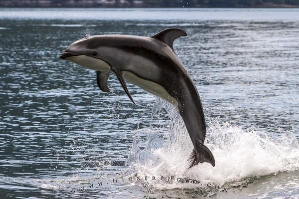 Jumping pacific white sided dolphin, Broughton Archipelago, British Columbia, Canada