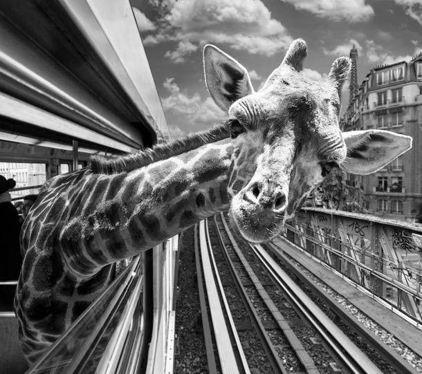 """""""Animétro"""", ou quand desanimaux de la savane prennent le métro parisien, une excellente série de photographies nées de la collaboration entreClarisse Re"""