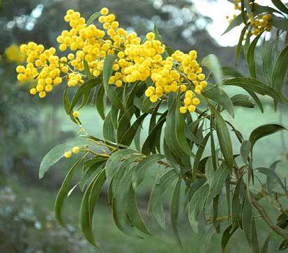 Acacia pycnantha aka Golden Wattle