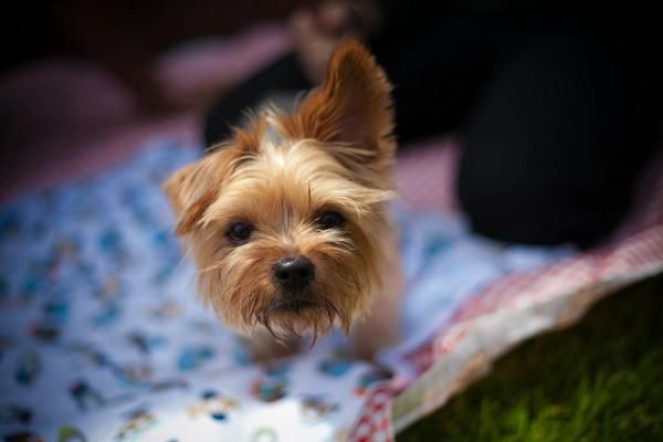 Cuidados del pelo del yorkshire terrier. El yorkshire terrier es una raza canina de pequeño tamaño, caracterizada por su atractiva apariencia, cuya combinación de colores, forma de la cara y particularidad...