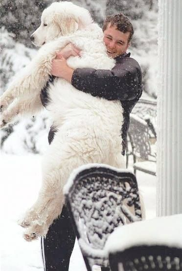 C'est PATOU léger à porter ce genre de chien... / Le Montagne des Pyrénées ou Patou.