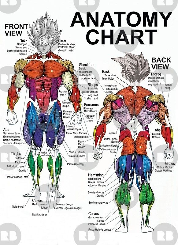 Muscle Groups Diagram