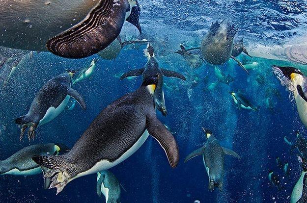 Bubble-jetting emperors, por Paul Nicklen (Canadá) - Imóvel, Nicklen prendeu os pés sob um pedaço de gelo e esperou pelos pinguins com os dedos congelando, respirando por um snorkel. De repente, eles emergiram em alta velocidade das profundezas do oceano e exigiram que foco e mira do fotógrafo fossem quase instintivos: http://abr.io/5rEs
