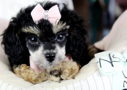 Poodle teacup puppies for sale! We ship, very safe! Easy financing available!!! visit our website teacuppuppiesstore.com or call 954-353-7864.