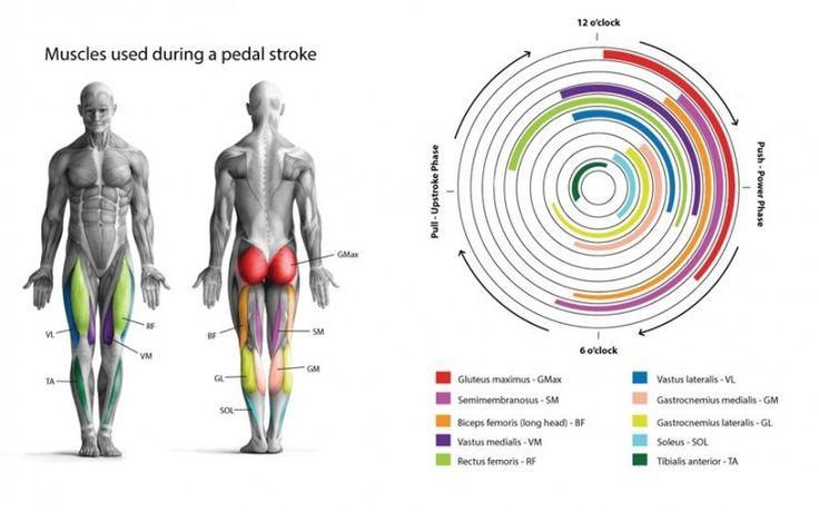 Implicación muscular en el ciclismo http://blgs.co/ozl7XO