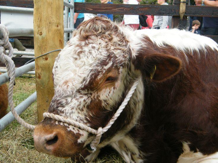 My favourite. An Irish Moiled Bull beautiful animal.
