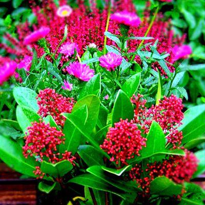www.fleursaubalcon.com Cette jardinière est composée de Skimmia et d'aster pour fleurir tout l'automne et l'hiver sur le balcon.