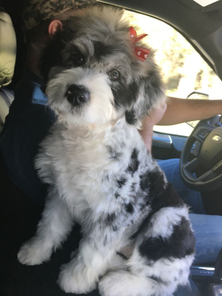 Paisley Blue Merle Aussiedoodle Puppy 11 Weeks Old Www