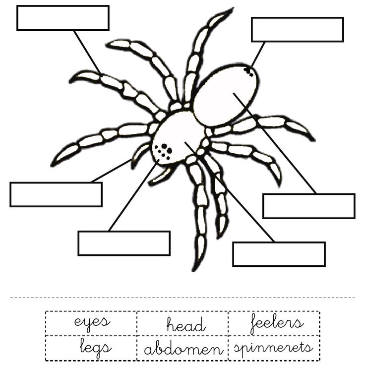 Printable Worksheet: Parts of a spider activity for young learners.