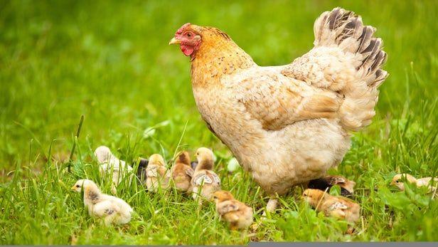 ARKEOFİLİ ///  Hıristiyanlık Tavukların Evrim Sürecini Nasıl Etkiledi?