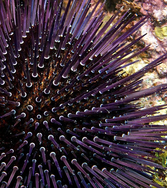 """Sea Urchin Portrait at Discovery Island, Javea"" [Valencia, Spain] by Luis Guijarro, via Flickr."
