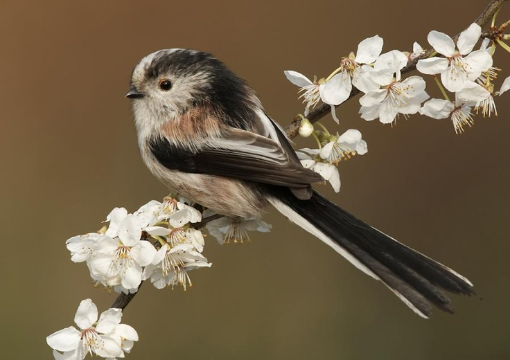 Codibugnolo (Long Tailed Tit)... i wanna get this tatted on my hand