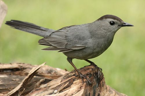 trembler thrasher bird information  Cat Bird