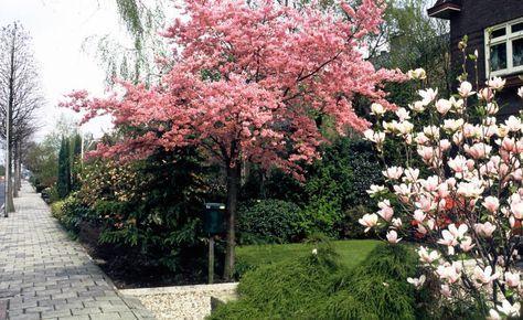 Kleine Bäume wirken oft durch ihre Kronenform und schöne Blüte
