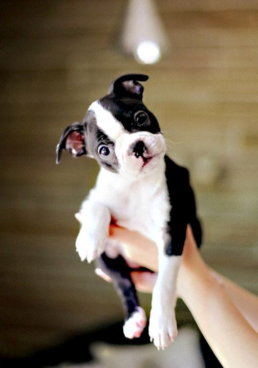 Boston terrier puppy. Looks just like Murphy when he was a puppy...