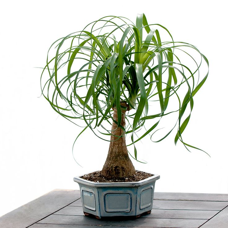 Types of Bonsai Trees | Ponytail Plant in Bonsai Pot - Indoor & Office Plants - By Plant Type ...