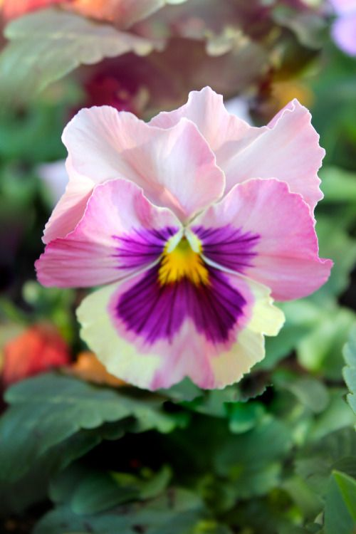 thelordismylightandmysalvation:  Pansy