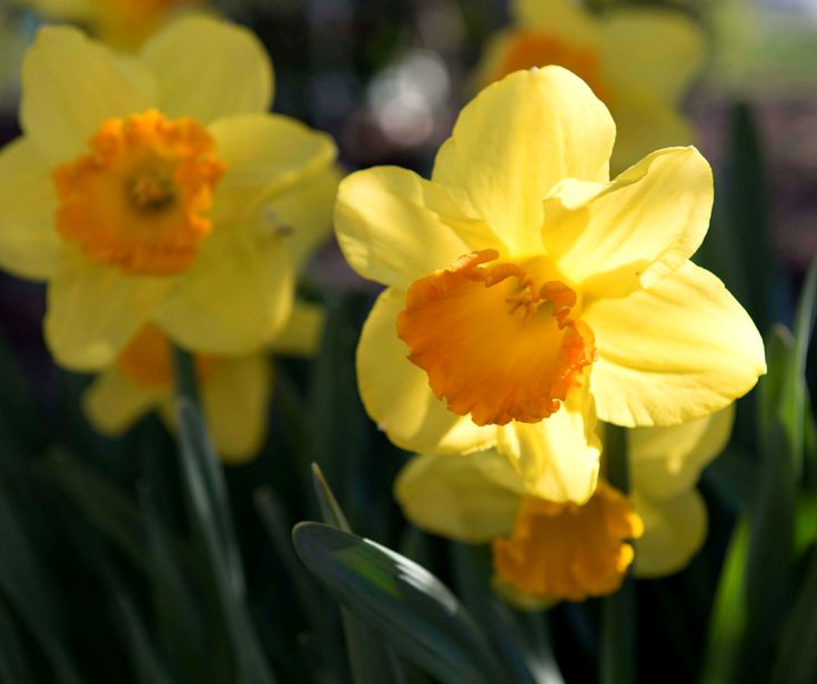 115 best year of the daffodil 2017 images on pinterest daffodils a classic daffodil with brilliant yellow petals and a large orange trumpet orange progress is mightylinksfo