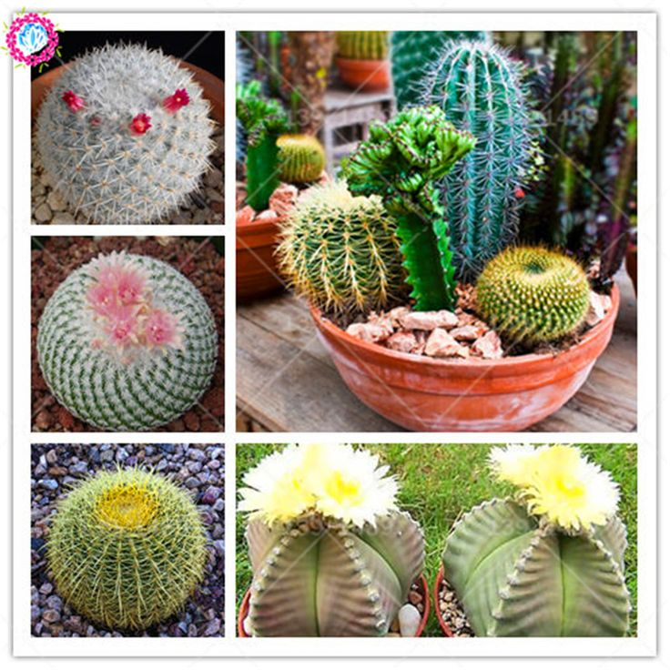100 mixed cactus seeds Prickly pear succulent plant seeds lotus Lithops Pseudotruncatella seeds Bonsai plant for home garden. Yesterday's price: US $0.42 (0.35 EUR). Today's price: US $0.42 (0.35 EUR). Discount: 58%.