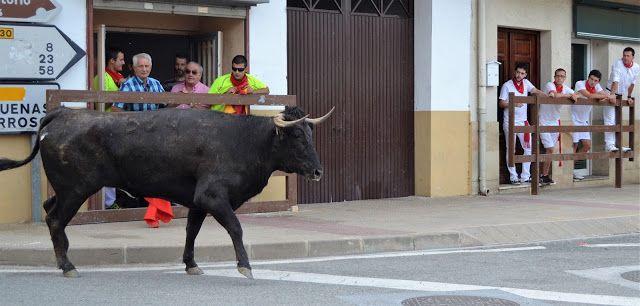 Santacara: Vacas de Pedro Dominguez Año 2015 (12)