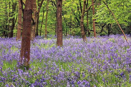 Spring Wood Bluebells, Whalley