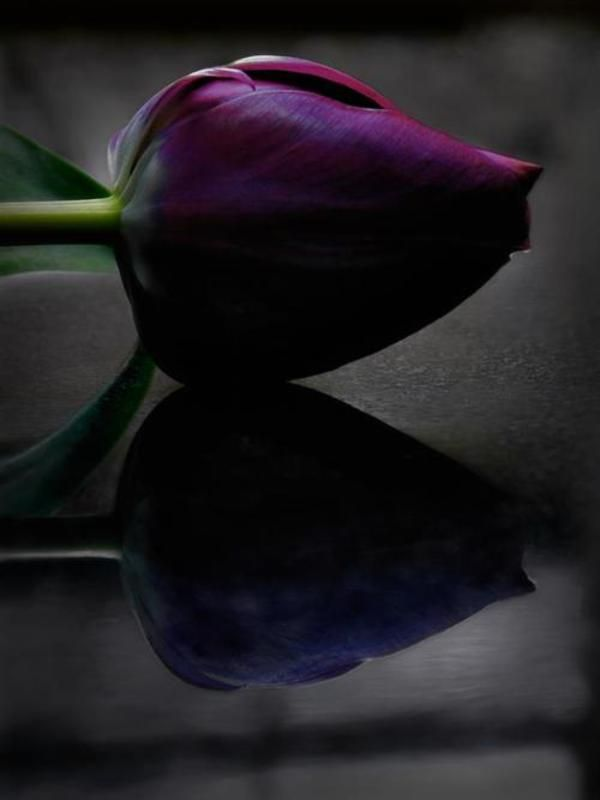 *Colors Purple, Beautiful Flower, Purple Tulips, Gardens, Beautiful Pictures, Purple Roses, Rose Bud, Pretty Pictures, Black