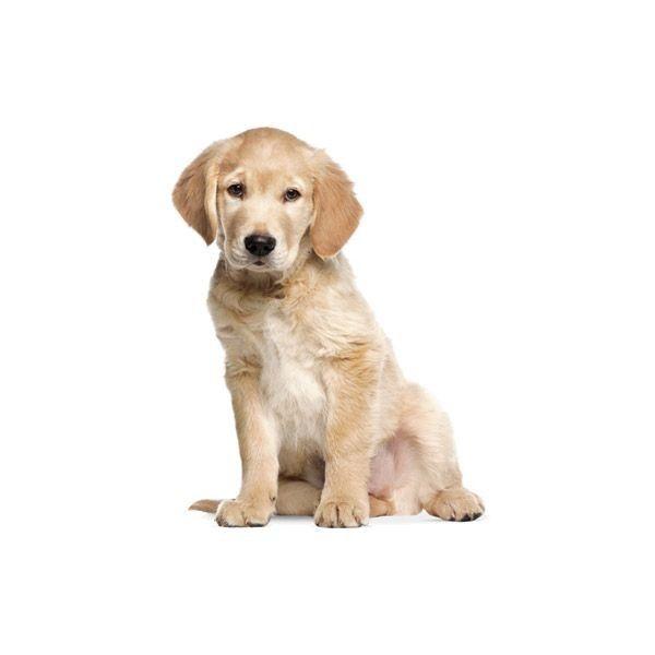 KEK Amsterdam Golden Retriever Puppy Wandsticker  https://www.flinders.de/kek-amsterdam-golden-retriever-puppy-wandsticker