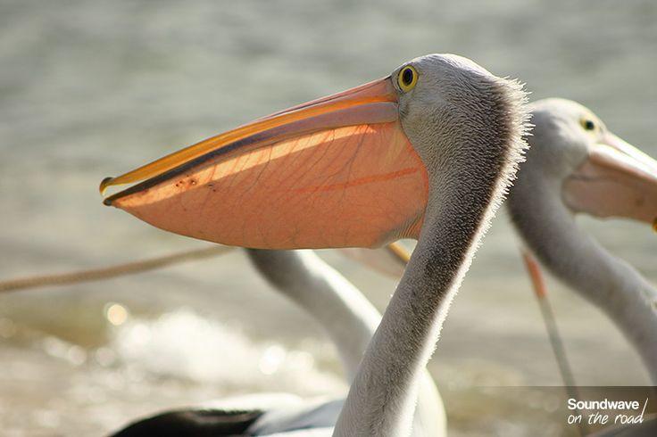 Pélican à lunettes http://soundwaveontheroad.com/les-pelicans-a-lunettes-de-san-remo/