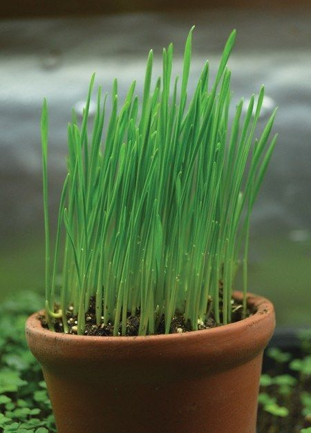 Wheatgrass Seeds (4 oz)